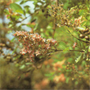 Lawsonia Inermis in flower and fruit